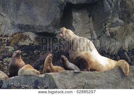 Stellar sea lions in Alaska