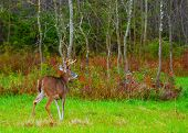 foto of deer rack  - Whitetail Deer Buck standing in a field.