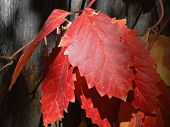 foto of creeper  - Autumn frost has turned the leaves of the Virginia Creeper vine bright shades of orange - JPG