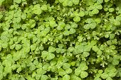 picture of irish moss  - A carpet of clovers and moss growing in a forest - JPG