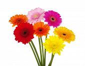picture of gerbera daisy  - gerbera daisies on a white background - JPG