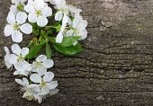 stock photo of apricot  - Spring  flower on wood background - JPG