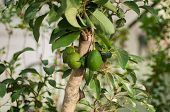picture of avocado tree  - an avocado tree on a park in Thailand - JPG