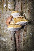 foto of bracket-fungus  - Tinder fungus at the tree in a forest in autumn - JPG