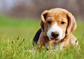 stock photo of enthusiastic  - Cute little beagle puppy playing in green grass - JPG