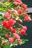 stock photo of climbing rose  - Red flowers of climbing roses on a sunny day - JPG