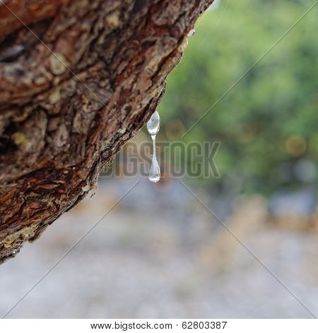 natural mastic drop on the tree close up