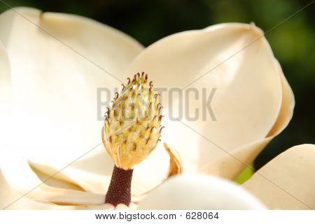 Magnolia Grandiflora Flower