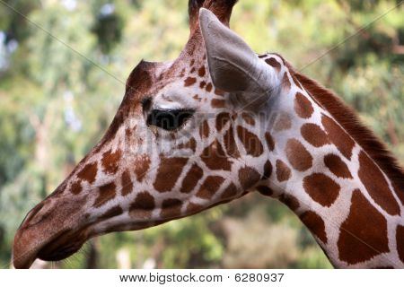 Giraffe head profile