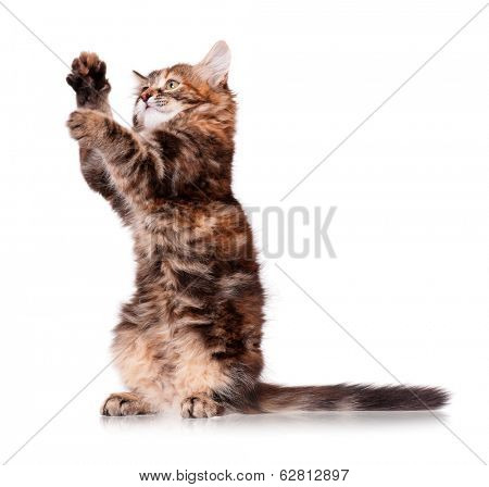 Cute baby kitten playing, isolated on white background