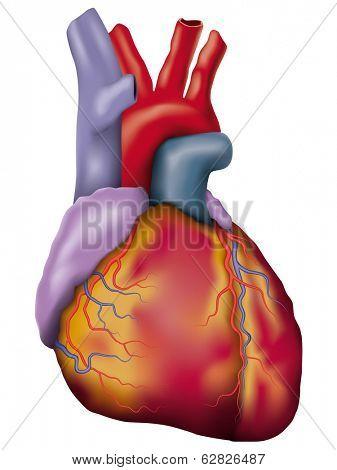 Human heart detailed vector. Anatomic vector illustration of a human heart.