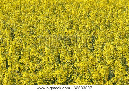 Rapeseed Flowers In The Middle Of The Countryside In Spring 7