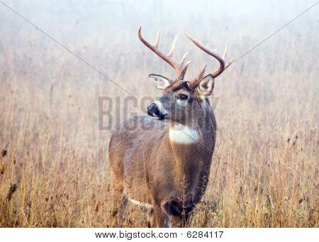 Berrea de los ciervos de Whitetail Buck