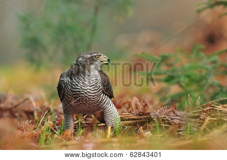 Common goshawk