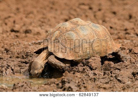 Leopard or mountain tortoise (Stigmochelys pardalis) drinking water, South Africa