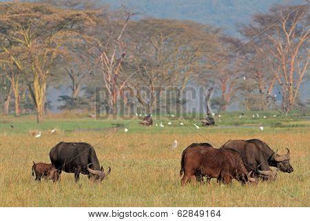 Grazing African buffalos (Syncerus caffer) with egrets, Lake Nakuru National Park, Kenya