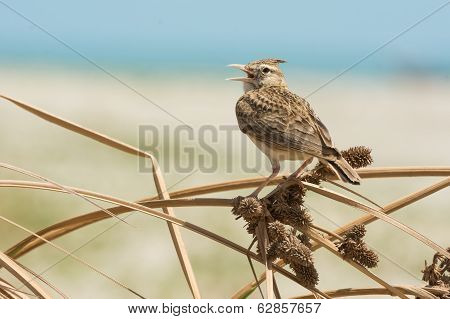 Crested Lark Singing On Dried Grass With Seeds