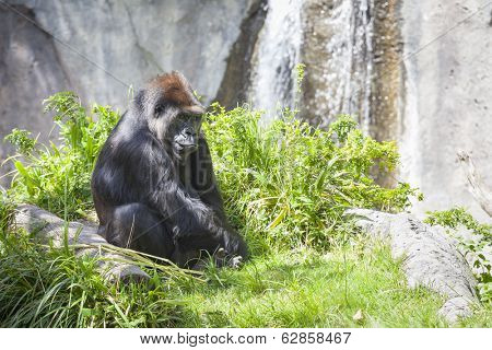 Western Lowland Gorilla Relaxing in the Grass.
