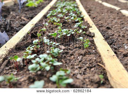 Radish Sprouts,