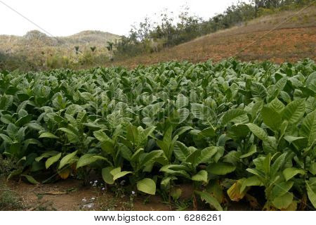 Tobacco Field In A Vinales Countryside In Cuba