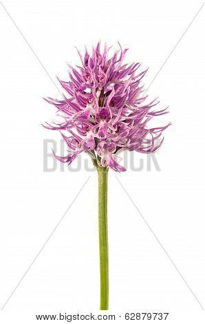 Naked Man Orchid Flowers - Orchis Italica