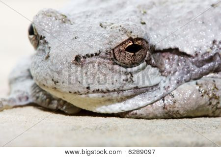 Cope's Gray Tree Frog.