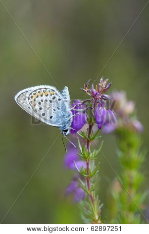 Silver-studded Blue Butterfly, Plebejus Argus