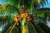 coconut tree with nuts on the background of sky