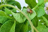 picture of potato bug  - Colorado potato beetle on a green leaves - JPG
