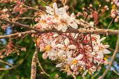 picture of cassia  - pink cassia or pink shower are blooming with clear sky - JPG
