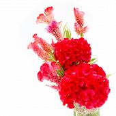 image of celosia  - Red flower - JPG