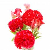 foto of cockscomb  - Red flower - JPG
