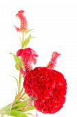 pic of celosia  - Red flower - JPG