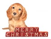 pic of puppy christmas  - Miniature dachshund puppy seated in front of  - JPG