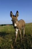 stock photo of jack-ass  - Donkey foal at green meadow with blue sky - JPG