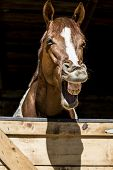 stock photo of horses eating  - Horse is laughing standing out from a barn