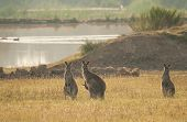 picture of kangaroo  - Group od wild Australian kangaroos  - JPG