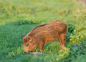 stock photo of boar  - Little wild boar grazing on grassland in wilderness - JPG