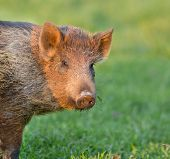 pic of boar  - Close up of baby wild boar looking at camera - JPG