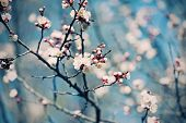 picture of apricot  - Apricot tree flower with buds blooming at sptingtime - JPG