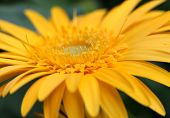pic of zinnias  - Close up shot of yellow Zinnia flower - JPG