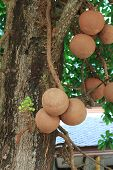 stock photo of cannonball  - Sal trees cannonball tree or sal of India - JPG