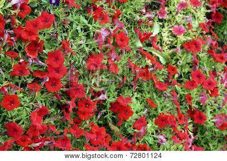 Garden Petunia