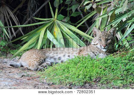 Wild Bobcat (lynx Rufus)