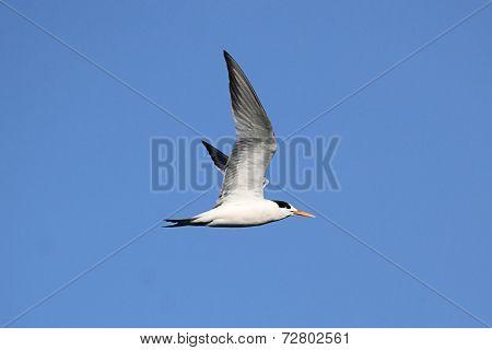 Elegant Tern (sterna Elegans)