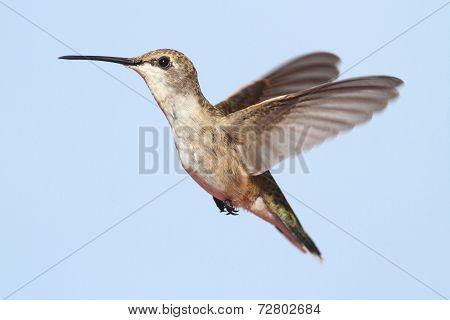 Black-chinned Hummingbird (archilochus Alexandri)