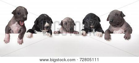 Mexican Xoloitzcuintle Puppies