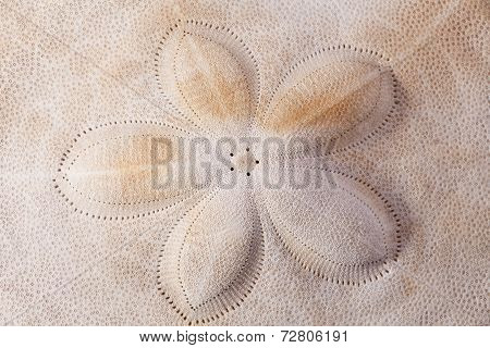 background of seashell of armor of the sea urchin macro
