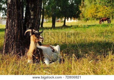 She-goat At Pasture