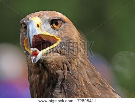 Big Golden Eagle With A Yellow Beak And Bright Eyes
